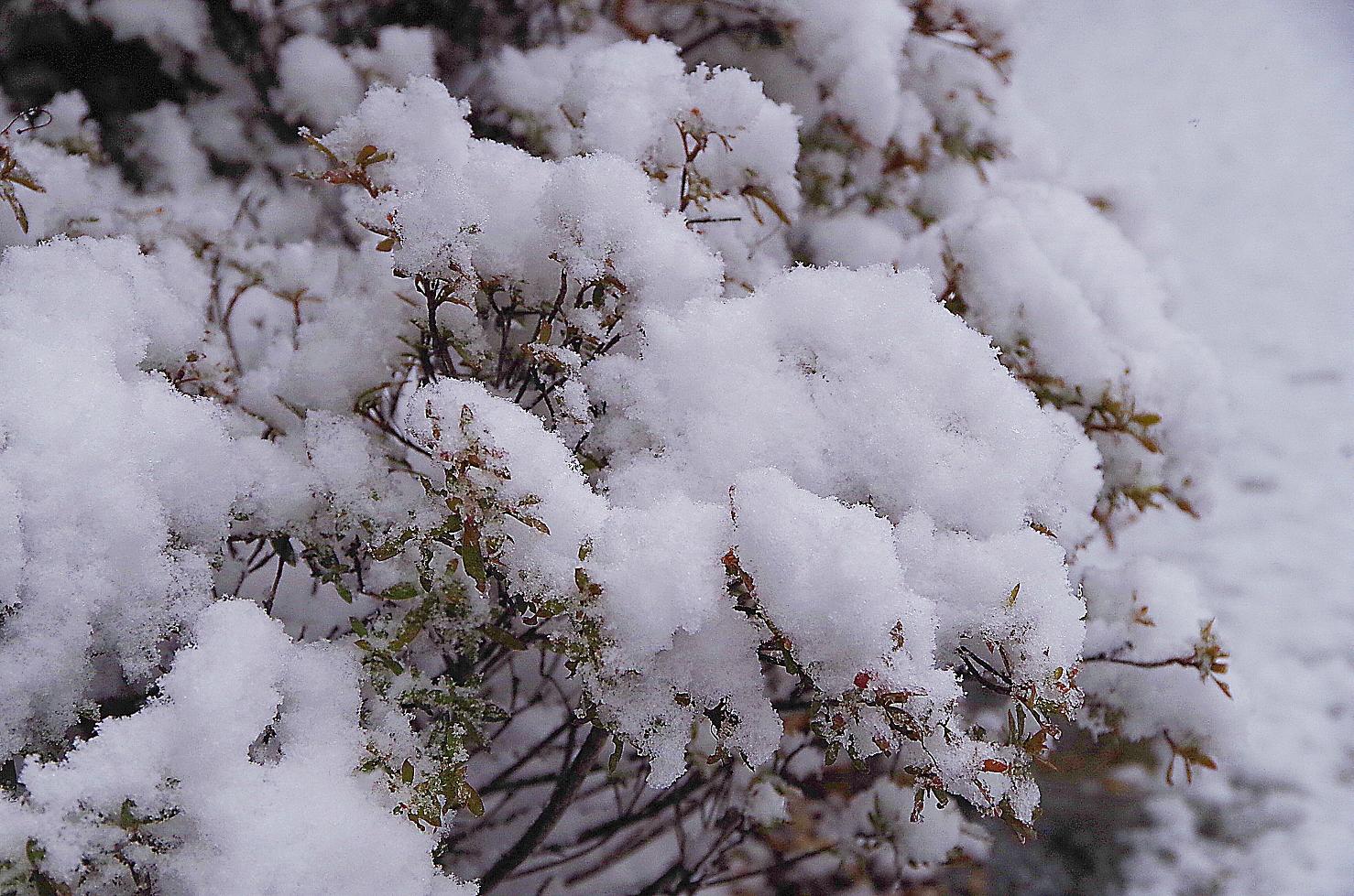 植え込み雪